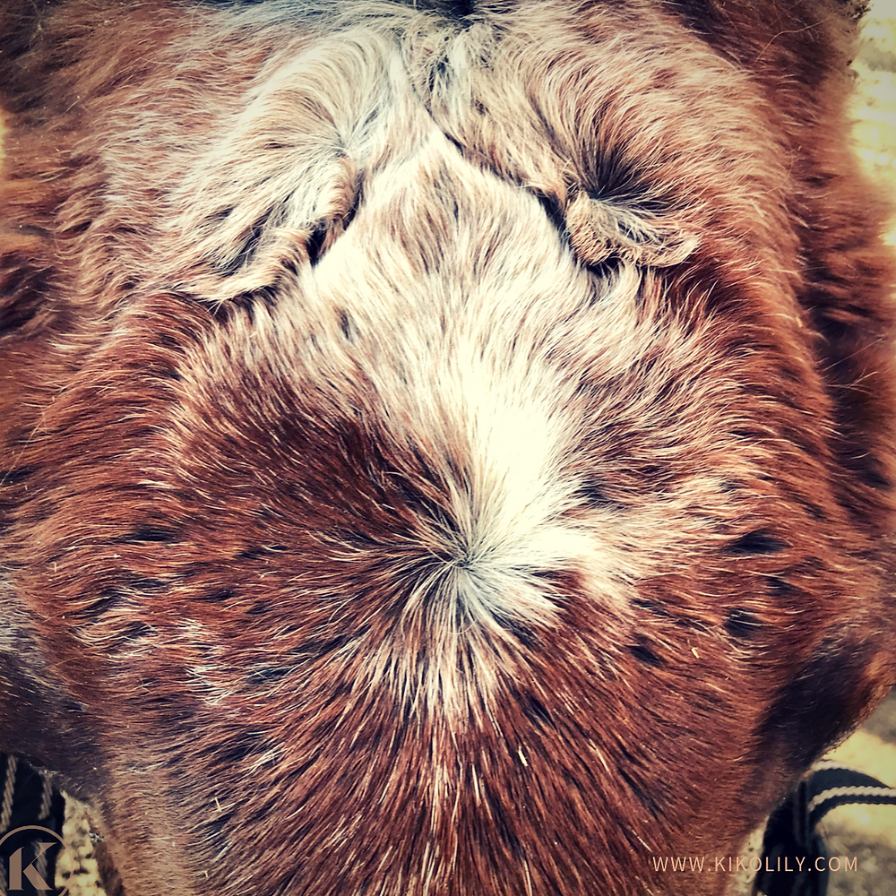 Wirbel Pferd Anzahl Haarwirbel Charakter Pferd