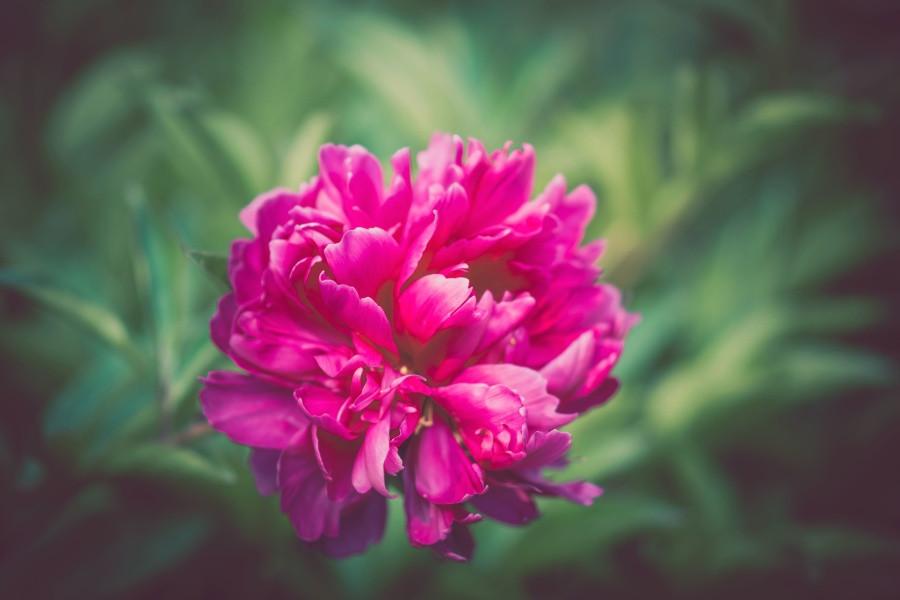 Peony: Compassion, Language of Flowers