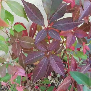 Autumnal Virginia Creeper