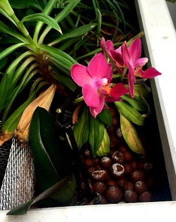Les orchidées en aquaponie