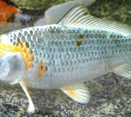 Quels poissons dans un Aquapouss' mini?