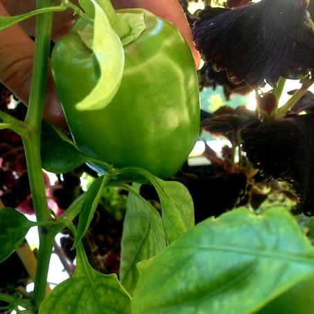 Plantes à croissance lente en aquaponie