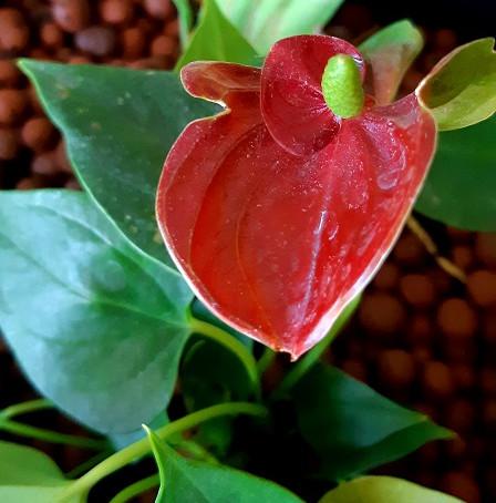 Anthurium Rouge: un vrai filtre contre l'ammoniaque