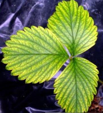 FAQ: Les feuilles de mes plantes deviennent claires