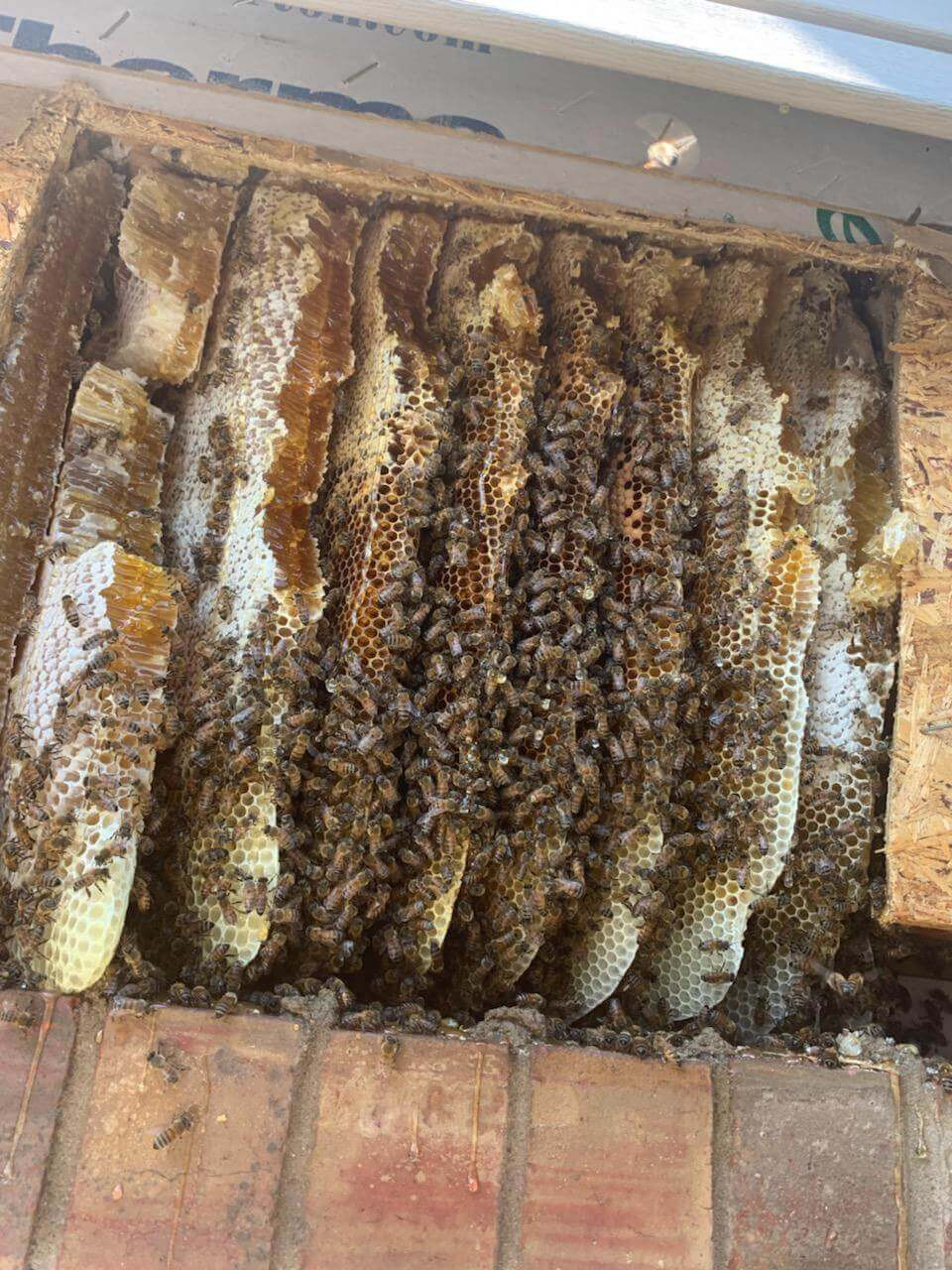 Bee colony in chimney bee removal