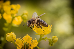 Bee in Flight 2.png