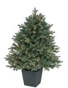 Blue Spruce - Potted Prelit 4.5'