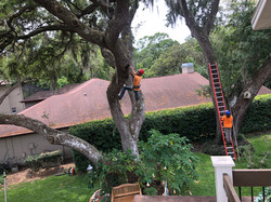 treeology_tree_ service_trimming