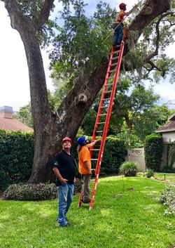 treeology_tree_ service_oak_tree_cleaning