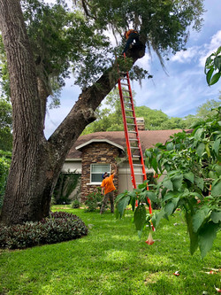 treeology_tree_ service_structual_pruning