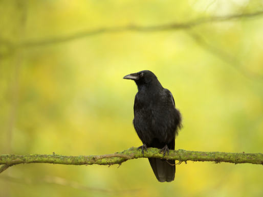 What can we learn from crows about adapting, surviving and thriving?
