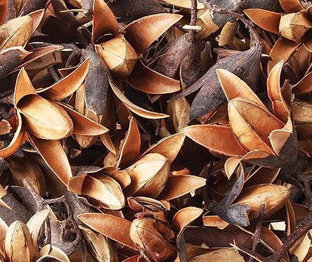 Dried Seedless Flower Pods