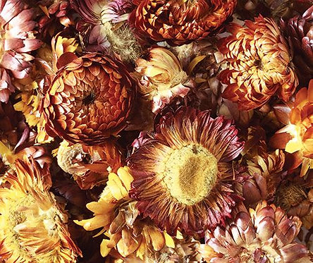 Dried Sun Flowers