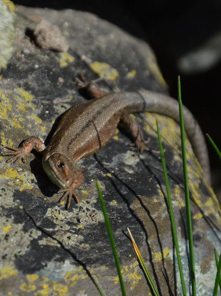 My common lizard story