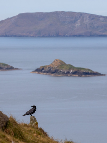 Y Gigfran - Common Raven – Fiach dubh - Corvus corax