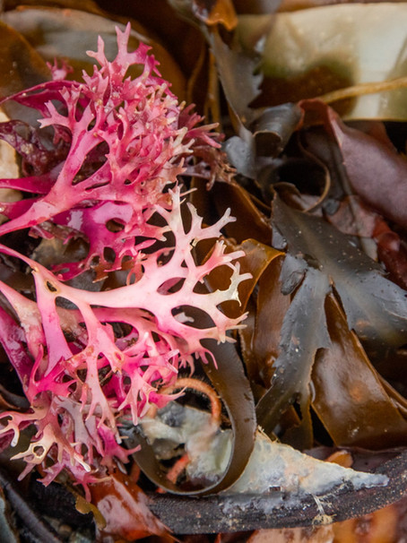 Strandline seaweeds