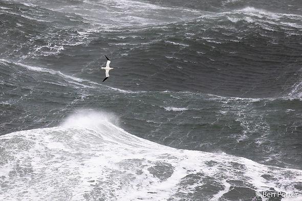 Gannet off Ynys Enlli - Ben Porter.jpg