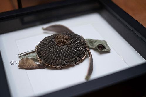 Tortuga Helianthus baby