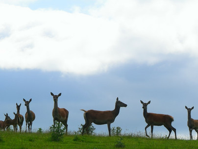 Red Deer Spotting at Clathic Farm