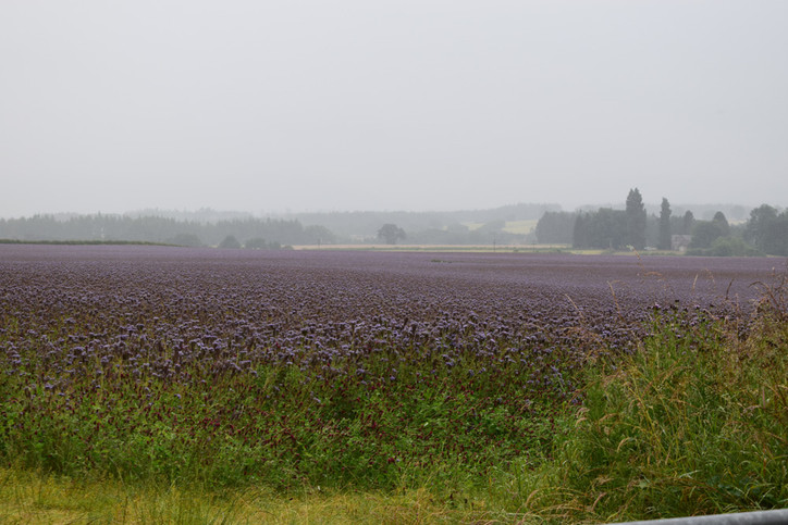 thistle-field.jpg