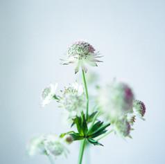 綿のような花.jpg