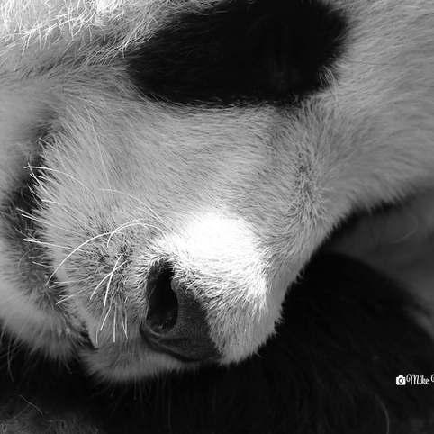 Male 10 year old panda