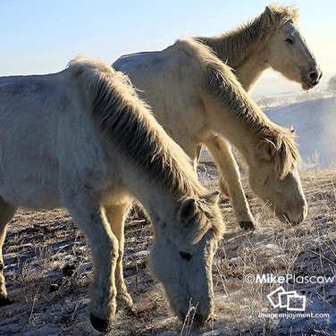 Wild horses in mongolia