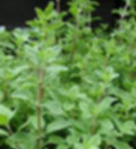 Nature's Sentry Organic CBD Massage Oils, made with organic marjoram oil