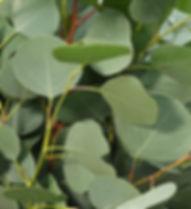 Nature's Sentry Organic CBD Massage Oils, made with organic eucalyptus oil