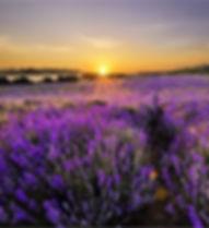 Nature's Sentry Organic CBD Massage Oils, made with organic lavende bulgaris oil