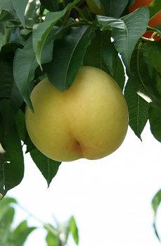 【特選/4kg】岡山白桃 清水白桃 贈答用(約10~12個)