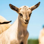 5-5 Goat 8.jpg