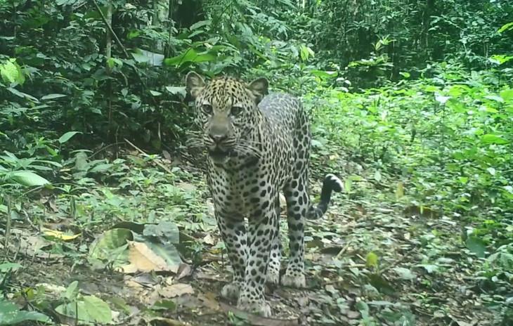Leopard filmed by camera trap