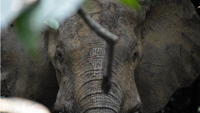 Water, human activity and elephant personalities determine their movement patterns