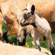 5-5 goat 12.jpg