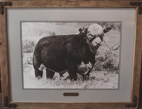 HelmsmanH Hereford Bull