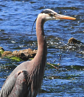Great Blue Heron fishing in water