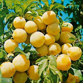 Greengage_Oullins_Golden_Gage_01_c8df558