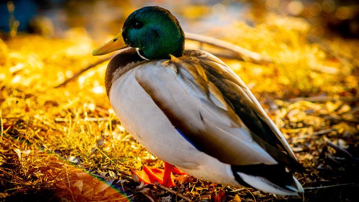 Duck_Boulder Crek.jpg