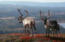 Reindeers_Inari.jpg