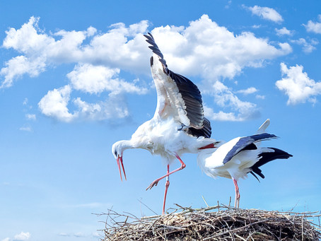 Storks and high voltage networks