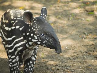 The Tapir says Hello