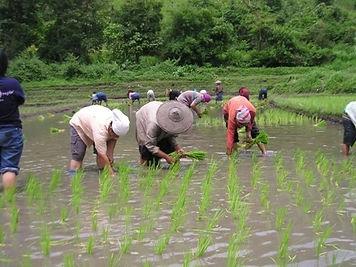 Karen story planting rice.jpg