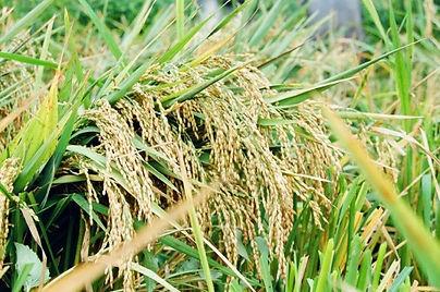 Karen story rice.jpg