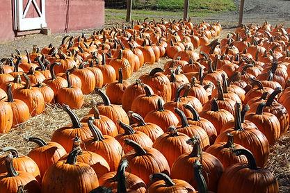 PumpkinsByBarn.JPG