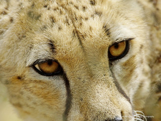 Chehaw, where there are Cheetahs