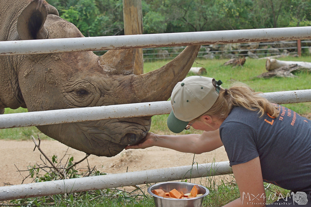During the Black Rhino feeding time, Sam Houston the Black Rhino