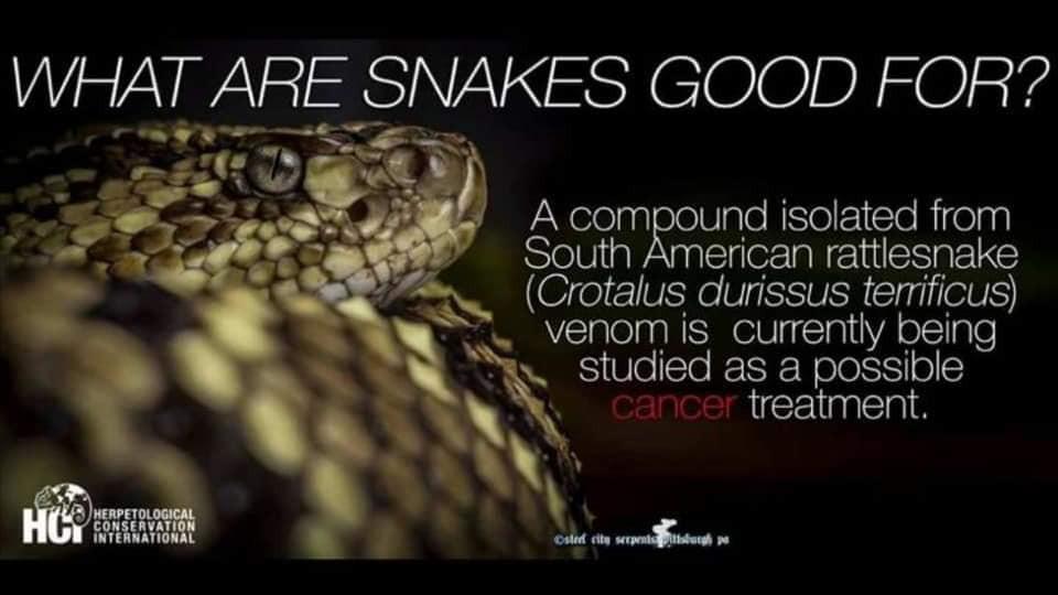 south american rattlesnake.jpg