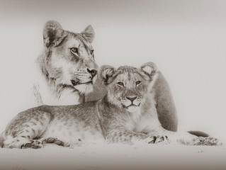 The Namib Desert Lions, coming to Canada