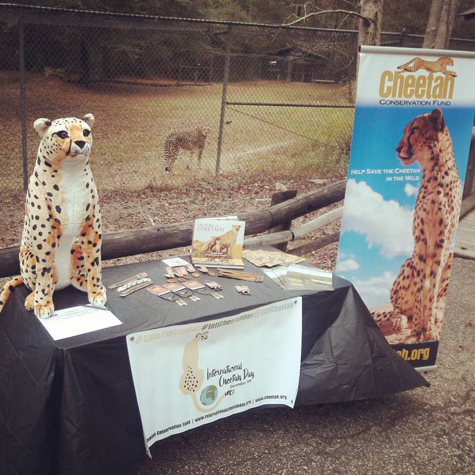 During National Cheetah Day, December 4th, celebrating Cheetahs